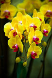 orchidyellow Royaltyfria Bilder