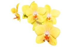 orchidyellow Arkivbild