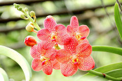 Orchidée orange thaïlandaise Photo stock