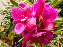 Orchidée rose Photo libre de droits
