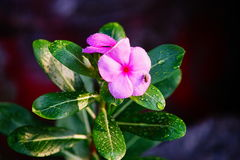 Orchird Flower. And leaves with morning water on it Royalty Free Stock Photo