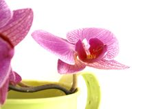 Orchis. Royalty-vrije Stock Afbeeldingen