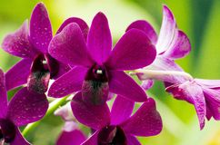 Orchis Royalty Free Stock Image