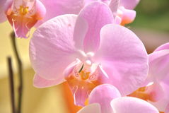 Orchis Immagine Stock