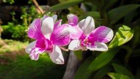 Orchis Foto de Stock