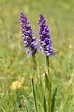 Orchis in the french Alps Royalty Free Stock Images