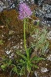 Orchis italica , Sicily, Italy Stock Photos
