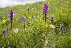 Orchis mascula, Early Purple Orchid. Early purple orchid in a natural meadow on limestone Stock Photos