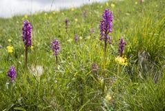 Orchis-mascula, Orchidee des frühen Purpurs Stockfotos