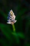 Orchis Militaris Zdjęcie Stock