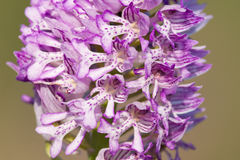 Orchis militaris. Closeup of the blossom of Orchis militaris or Military Orchid stock photo