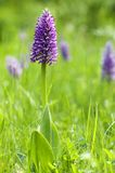 Orchis militaris Stock Photo