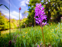 Orchis Militaris Royalty Free Stock Images