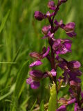 Orchis morio Stock Photography