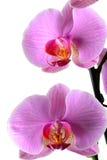 Orchis, Orchidea Phalaenopsis die op wit wordt geïsoleerdk Stock Afbeeldingen