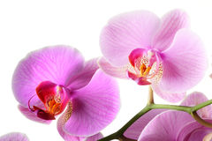 Orchis, Phalaenopsis d'Orchidea Photo stock