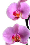 Orchis, Phalaenopsis d'Orchidea d'isolement sur le blanc Images stock