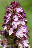 Orchis purpurea. Detail of Lady Orchid, Orchis purpurea, in blossom in a meadow royalty free stock photography