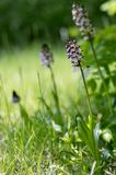 Orchis purpurea in bloom, flowering beautiful purple wild orchid royalty free stock photo