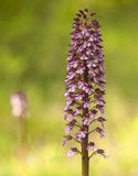 Orchis purpurea Royalty Free Stock Photos