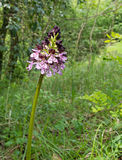 Orchis purpurea, the lady orchid Stock Photography