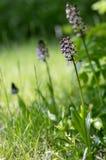 Orchis purpurea w kwiacie, kwitnie pięknej purpurowej dzikiej orchidei zdjęcie royalty free