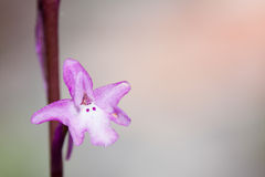 orchis quadripunctata 免版税图库摄影