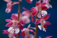 Orchis selvaggi fotografia stock