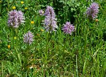 Orchis , Sicily, Italy Royalty Free Stock Photography