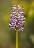 Orchis simia Royalty Free Stock Photography