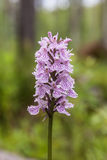 Orchis som blommar i skogen Arkivfoton