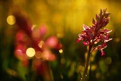 Orchismilitaris, militaire orchidee, die Europese aardse wilde orchidee in aardhabitat bloeien, groen detail van bloei, ontruimen royalty-vrije stock afbeelding