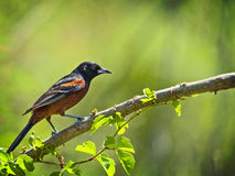 Orchrd Oriole Stock Photos