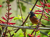 Orchrd Oriole Royalty Free Stock Images