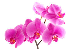 orchyd purpurowy Obrazy Stock