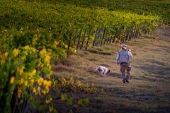 ` ORCIA VAL d, TUSCANY/ITALY 8-ое октября - виноградник в ` Orcia Val d стоковое изображение