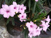 Orcid rose Photo libre de droits