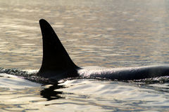 Orcinus Orca. Killer whales in the sea bay Stock Photo