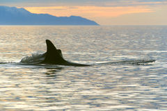 Orcinus Orca. Killer whales in the sea bay Stock Photos