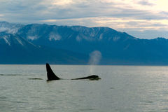 Orcinus Orca Stock Photography
