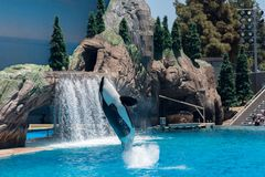 Orcinus Orca, Killer Whale Breaches the water at aquarium in San Diego Sea World California. Black and white marine mammal Killer whale leaps out of water during royalty free stock images