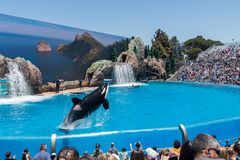Orcinus Orca, Killer Whale Breaches the water at aquarium in San Diego Sea World California. Black and white marine mammal Killer whale leaps out of water during royalty free stock photography
