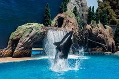 Orcinus Orca, Killer Whale performance in water at aquarium in San Diego Sea World California. Black and white marine mammal Killer whale leaps out of water royalty free stock images