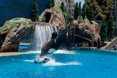 Orcinus Orca, Killer Whale performance in water at aquarium in San Diego Sea World California. Black and white marine mammal Killer whale leaps out of water royalty free stock photos
