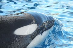 Orcinus orca Royalty Free Stock Images