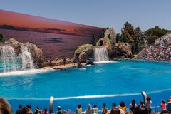 Orcinus Orca, Pod of Killer Whales Synchronize Breaches the water at aquarium in San Diego Sea World California stock photo