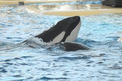 Orcinus orca Royalty Free Stock Image