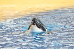 Orcinus orca Royalty Free Stock Photography