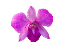 Orclid. Wet purple orchid on isolated white background, with clipping path Stock Photos