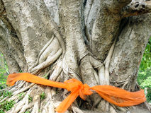 Ordained Bodhi tree. In Thailand Stock Photography